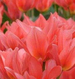 Tulpe  Tulipa 'Toronto'