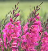 Siegwurz  Gladiolus communis ssp. byzantinus (Gewöhnliche Siegwurz)