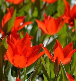 Tulpe (Wild)  Tulipa praestans 'Zwanenburg', BIO