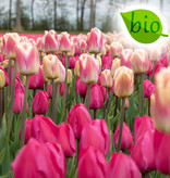 Mischung  Biologische Mischung von Tulipa 'Tineke van der Meer' & 'Siesta'