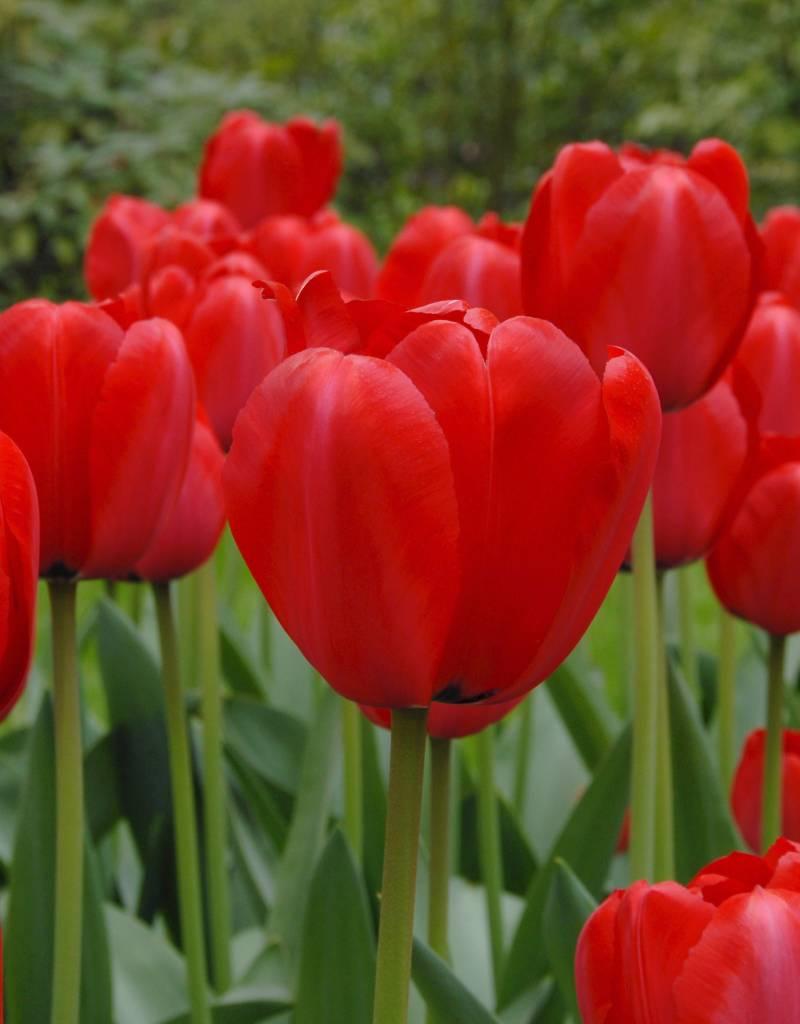 Tulpe  Tulipa ′Red Impression′, BIO - ANGEBOT