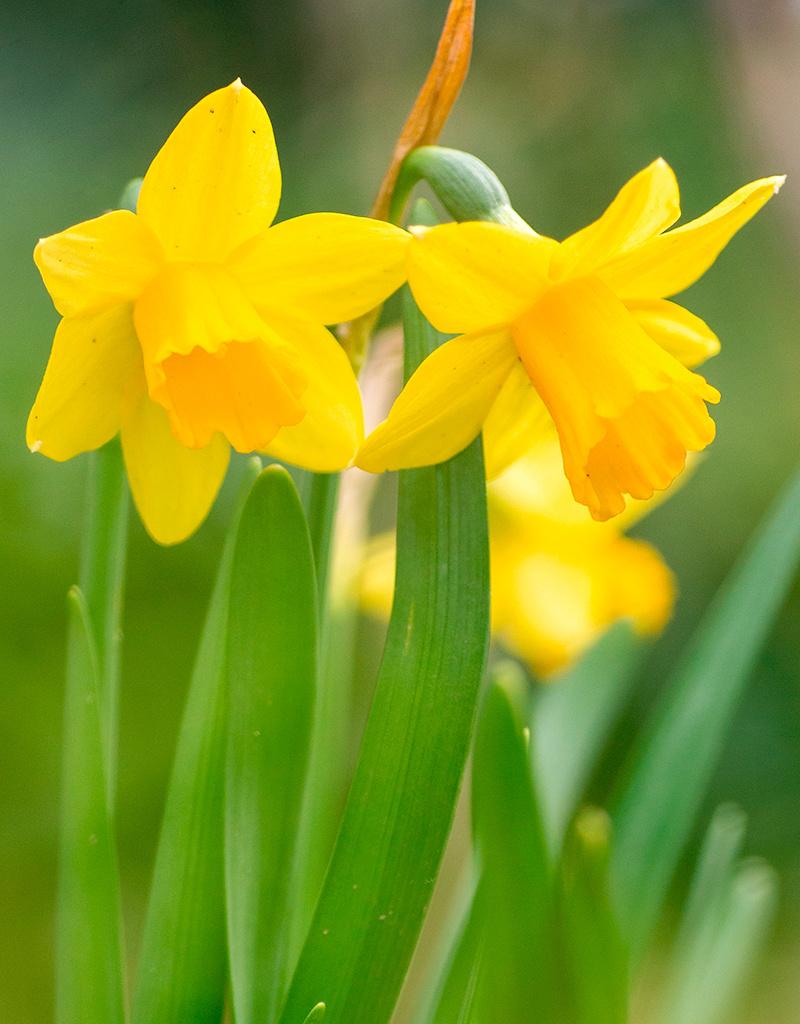 Narzisse  Narcissus 'Tête-à-Tête', BIO - ANGEBOT