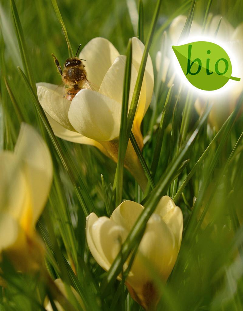 Krokus  Crocus chrysanthus 'Romance', BIO - ANGEBOT