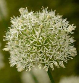 Zierlauch  Allium 'Mount Everest' - ANGEBOT