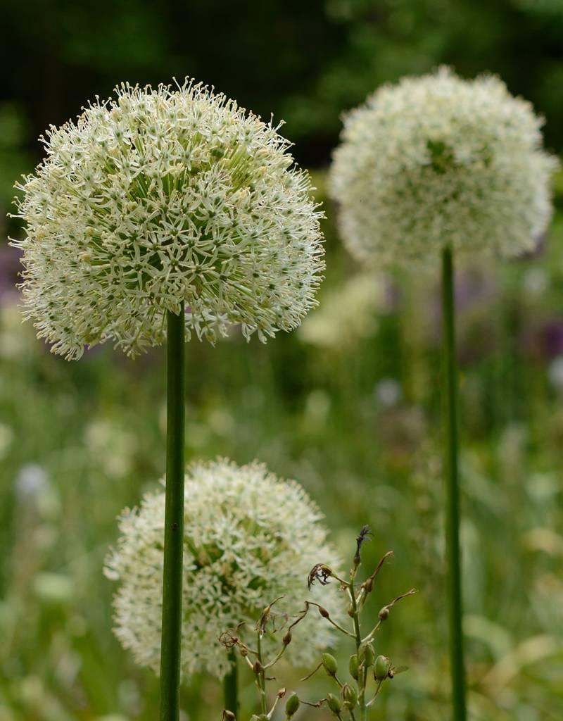 Zierlauch  Allium 'Mount Everest' ('Mount Everest' Lauch) - ANGEBOT