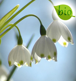 Sommer-Knotenblume  Leucojum aestivum 'Gravitye Giant', BIO - ANGEBOT