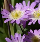 Anemone (Strahlen) Anemone blanda 'Charmer' (Strahlen-Anemone)