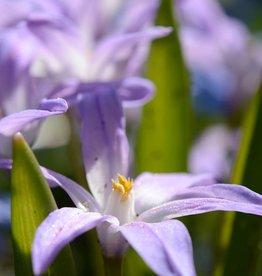 Schneeglanz (Gewöhnlicher)  Chionodoxa luciliae 'Violet Beauty'