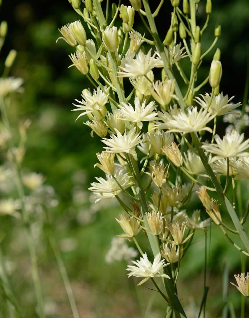Prärielilie Camassia leichtlinii 'Semiplena' (Prärielilie)