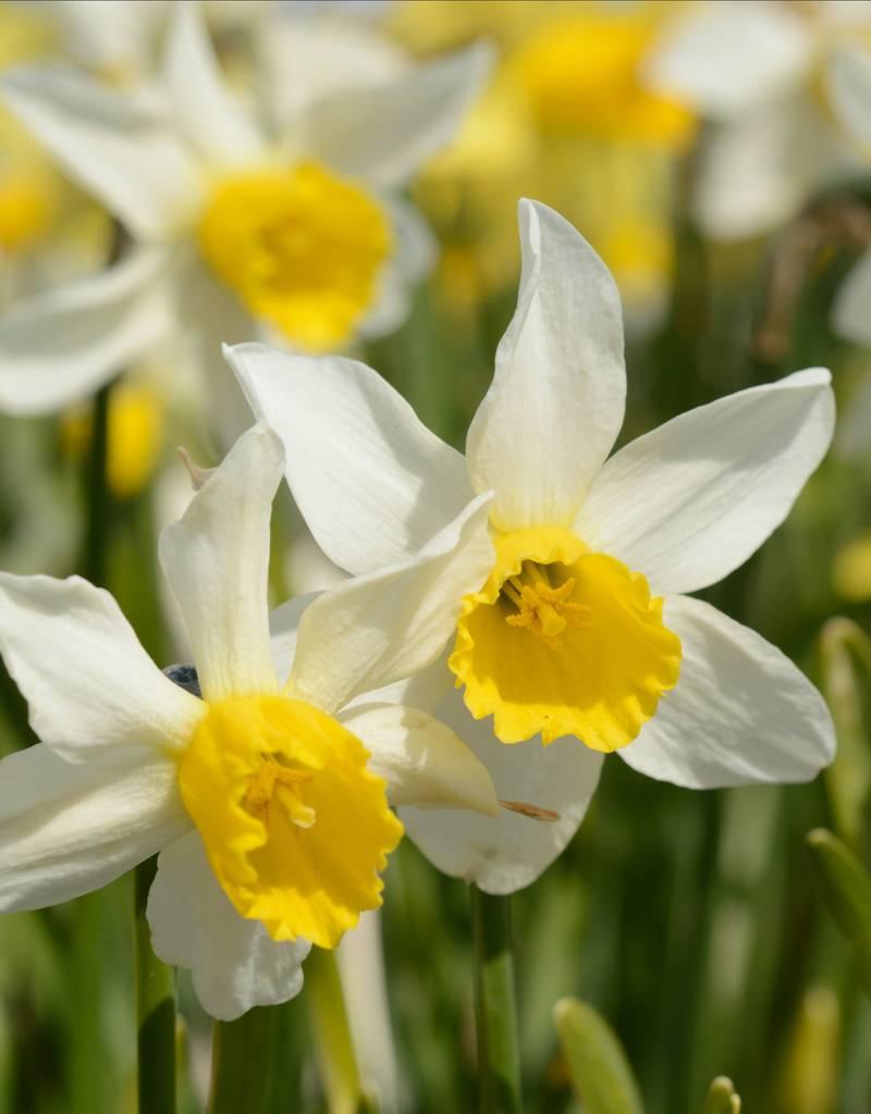 Narzisse  Narcissus 'Jack Snipe'