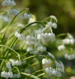 Lauch  Allium paradoxum (Seltsamer Lauch)