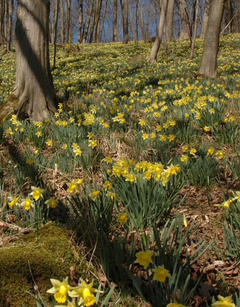 Narzisse (Wilde)  Narcissus pseudonarcissus lobularis (Wilde Narzisse) - Stinsenpflanze