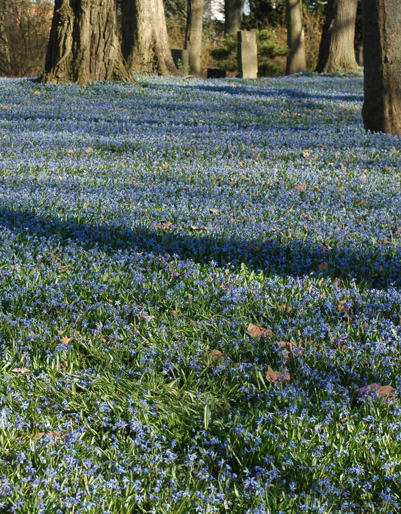 Blaustern (Sibirischer)  Scilla siberica (Sibirischer Blaustern) - Stinsenpflanze