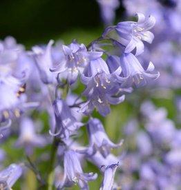 Hasenglöckchen (Spanisches) Hyacinthoides hispanica, blau, rosa, weiss (mix), Bulk