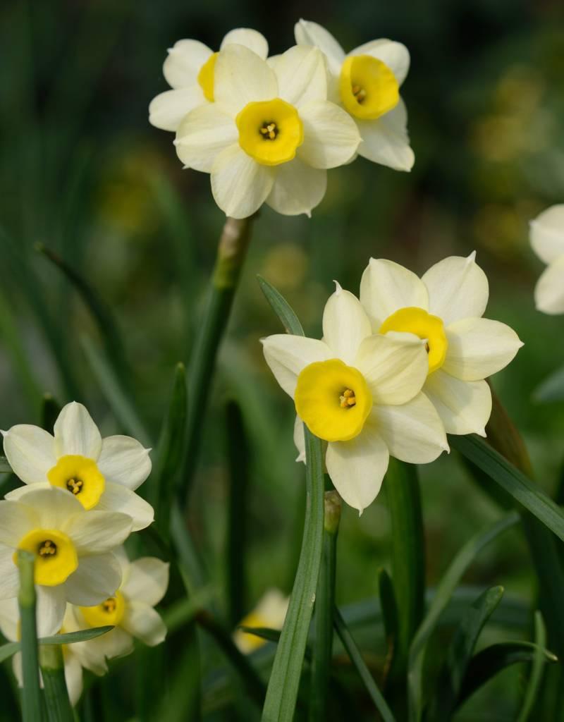Narzisse  Narcissus 'Minnow', BIO