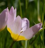 Tulpe (Wild) Tulipa bakeri 'Lilac Wonder', BIO