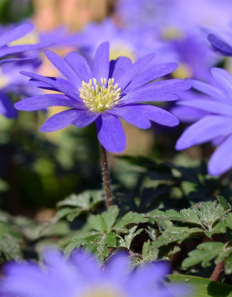 Anemone (Strahlen)  Anemone blanda 'Blue Shades' (Strahlenanemone) - 300 Stück für 12m2
