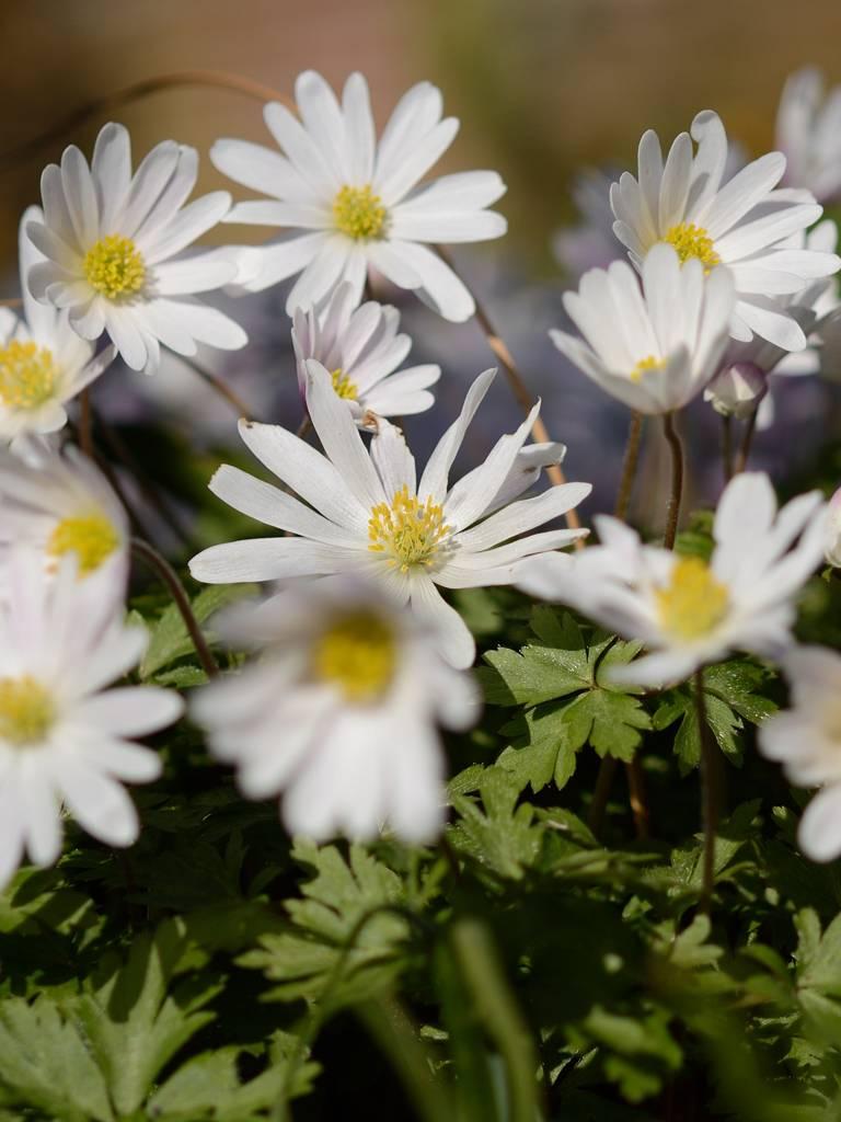 Anemone (Strahlen) Anemone blanda 'White Splendour' (Strahlenanemone) - 125 Stück für 5m2