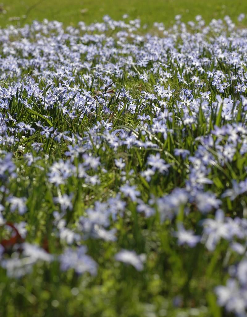 Schneeglanz (Gewöhnlicher)  Chionodoxa luciliae (Gewöhnlicher Schneeglanz) - Stinsenpflanze - 400 Stück für 16m2