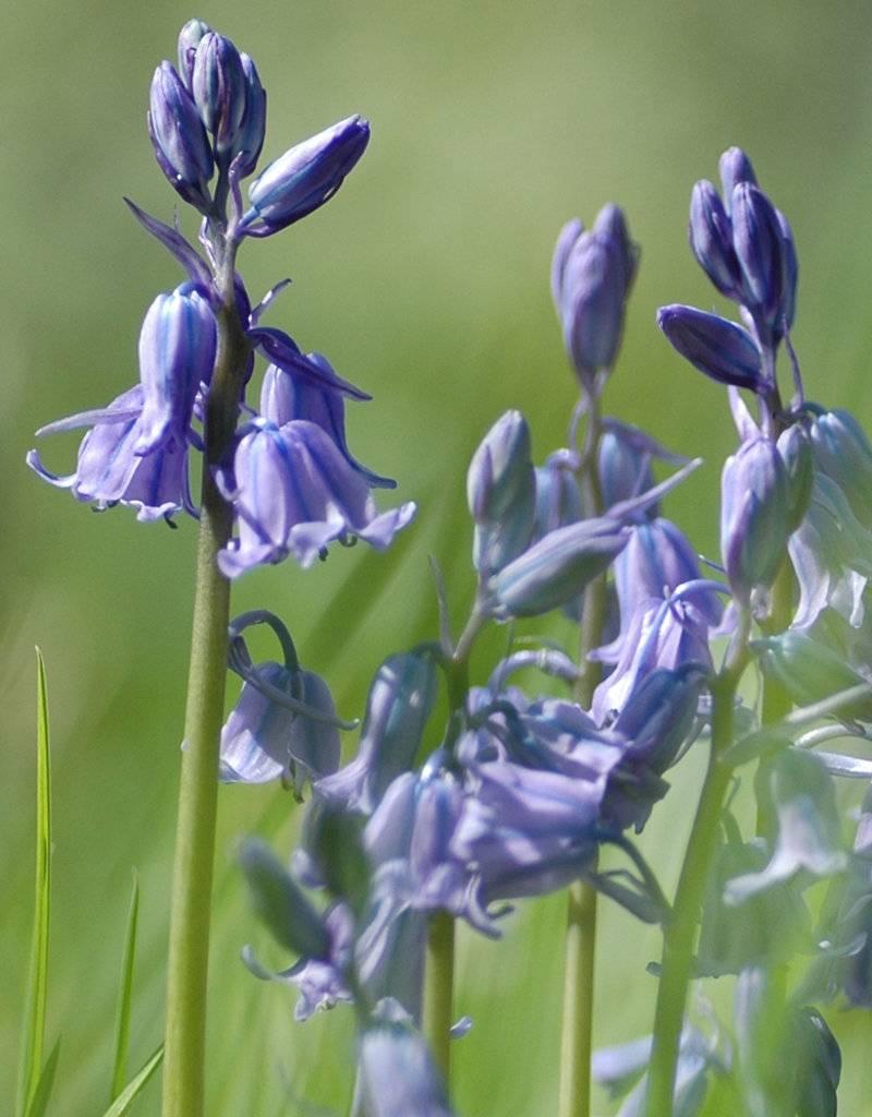 Hasenglöckchen (Atlantisches) Hyacinthoides non-scripta (Atlantisches Hasenglöckchen) - Stinsenpflanze - 100 Stück für 4m2