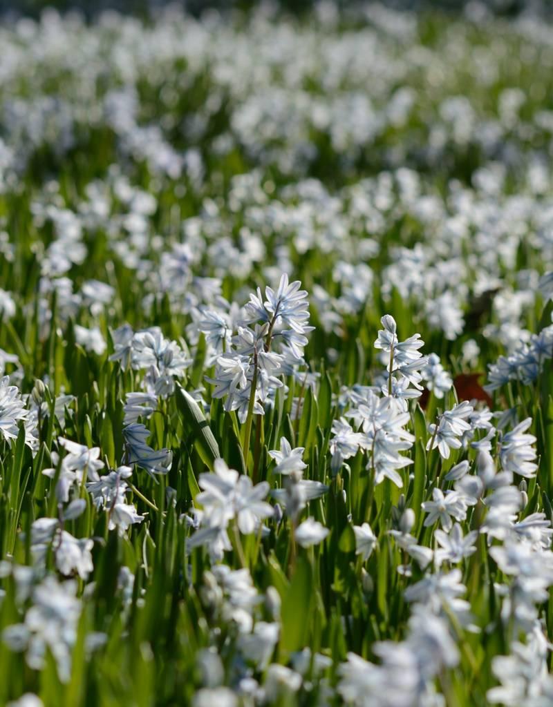 Kegelblume Puschkinia scilloides var. Libanotica (Libanon-Kegelblume) - Stinsenpflanze - 400 Stück für 16m2