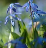 Blaustern (Sibirischer)  Scilla siberica (Sibirischer Blaustern) - Stinsenpflanze - 250 Stück für 10m2