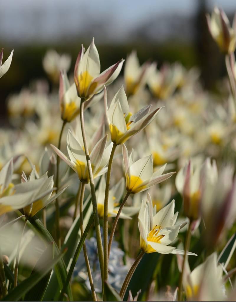 Tulpe (Wild) Tulipa turkestanica, BIO