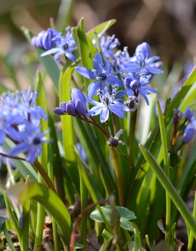 Blaustern (Zweiblättriger)  Scilla bifolia (Zweiblättriger Blaustern) - Stinsenpflanze