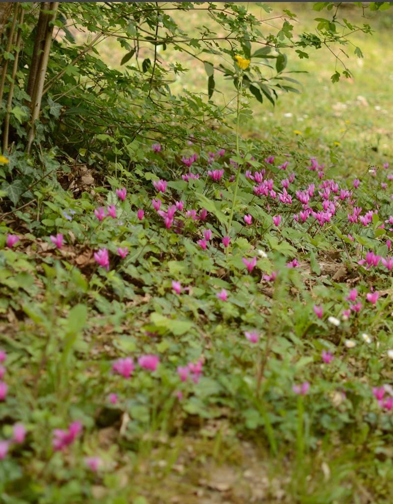 Garten-Alpenveilchen (Frühlings)  Cyclamen coum (Frühlings-Garten-Alpenveilchen)