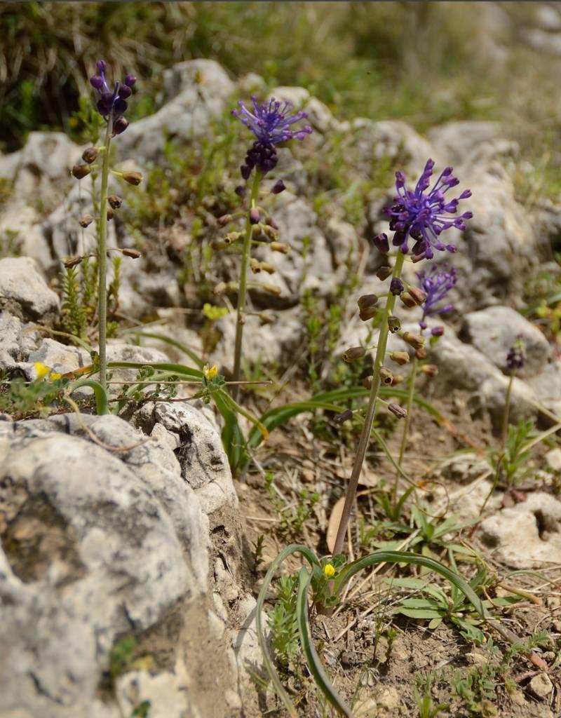 Traubenhyazinthe  Muscari comosum (Schopf-Traubenhyazinthe) – Stinsenpflanze