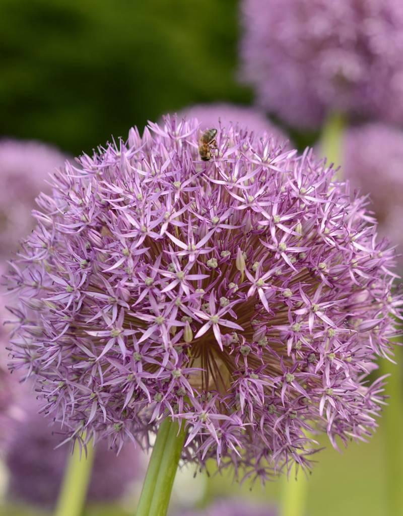 Zierlauch Allium 'Pinball Wizard'' (Zierlauch)