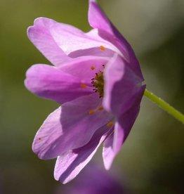 Buschwindröschen Anemone nemorosa 'Westwell Pink'