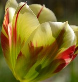 Tulpe Tulipa 'Flaming Spring Green'