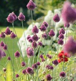 Kugellauch (Kugelköpfiger) Allium sphaerocephalon, BIO