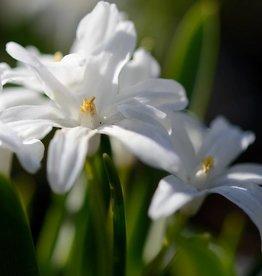 Schneeglanz (Gewöhnlicher ) Chionodoxa luciliae 'Alba', BIO