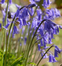 Hasenglöckchen (Blue Bell)  Hyacinthoides non-scripta (Blue Bell)