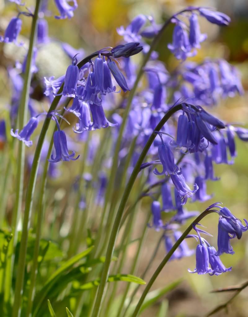 Hasenglöckchen (Blue Bell)  Hyacinthoides non-scripta (Blue Bell) - Stinsenpflanze