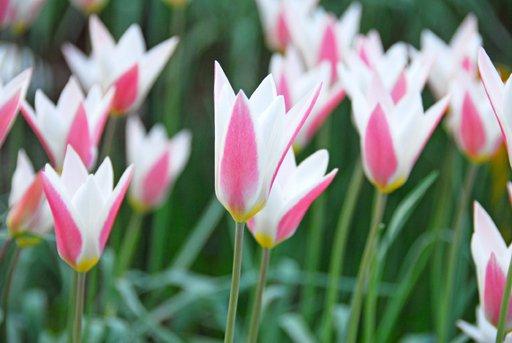 Tulpe (Wild) Tulipa clusiana 'Lady Jane'