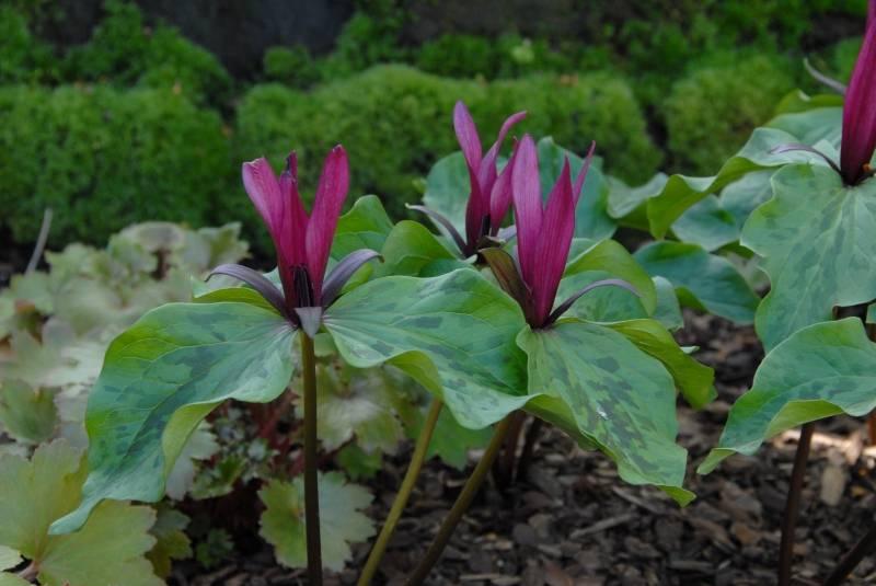 Wood trillium Trillium sessile (Wood trillium)