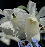Daffodil Narcissus 'Thalia'