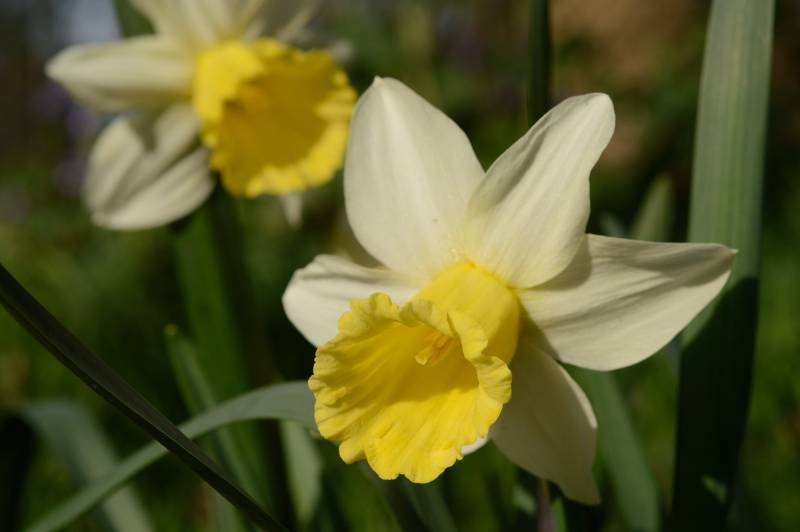 Daffodil Narcissus 'February Silver'