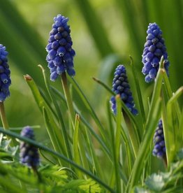 Grape hyacinth  Muscari botryoides 'Superstar'