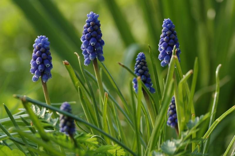 Grape hyacinth  Muscari botryoides 'Superstar' (Grape hyacinth) - Stinzenplant