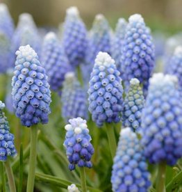 Grape hyacinth  Muscari aucheri 'Ocean Magic'