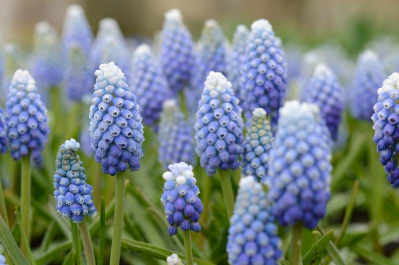 Grape hyacinth  Muscari aucheri 'Ocean Magic' (Grape hyacinth)
