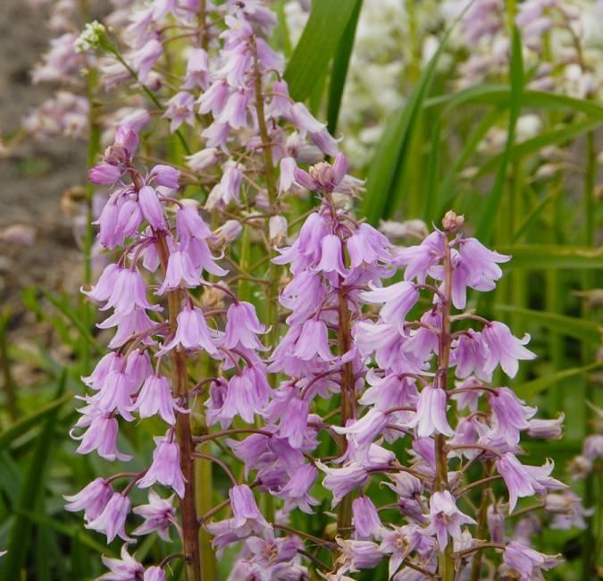Bluebell (Spanish) Hyacinthoides hispanica pink (Spanish bluebell) - Stinzenplant