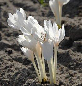 Meadow saffron Colchicum autumnale 'Album'