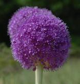 Ornamental onion Allium giganteum (Giant allium)