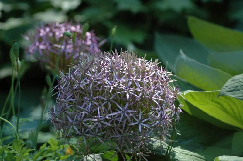 Ornamental onion Allium christophii (Star of Persia)