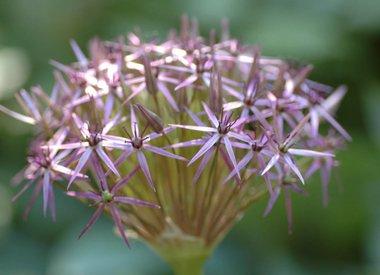 ALLIUM - Ornamental onions & Wild garlic